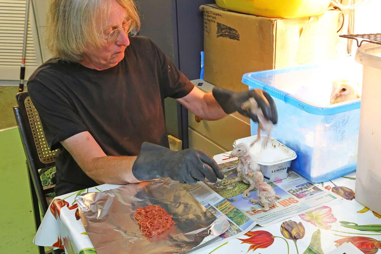 feeding owlets