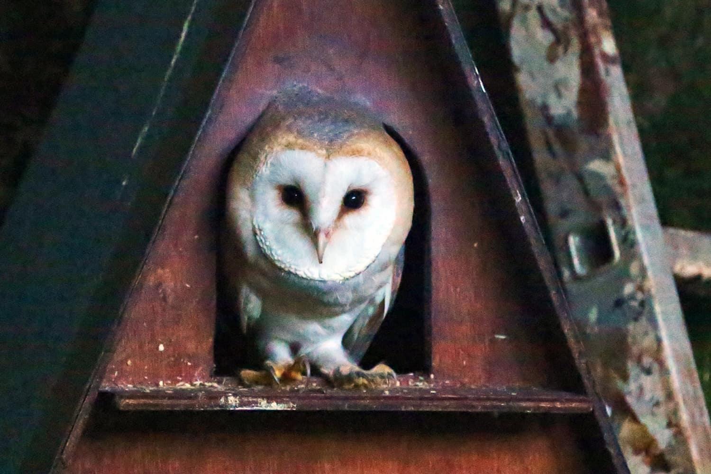 charlie the barn owl