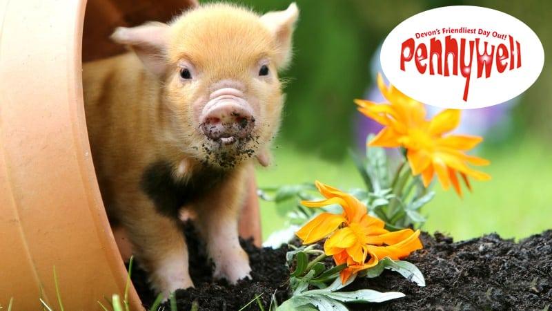 A Pennywell Farm miniature pigs