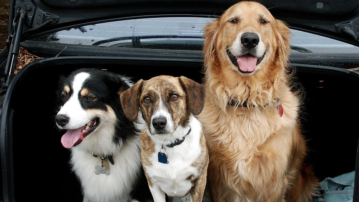 Dogs_car_boot