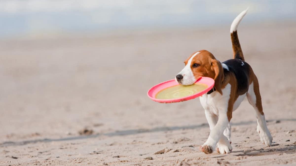 Beagle-on-beach