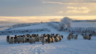 snow-sheep