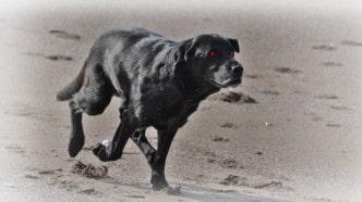 spooky-black-hound