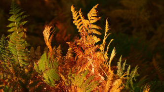 autumn-ferns-new-forest