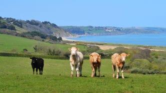 slapton-cows