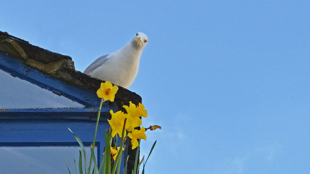 salcombe-seagull